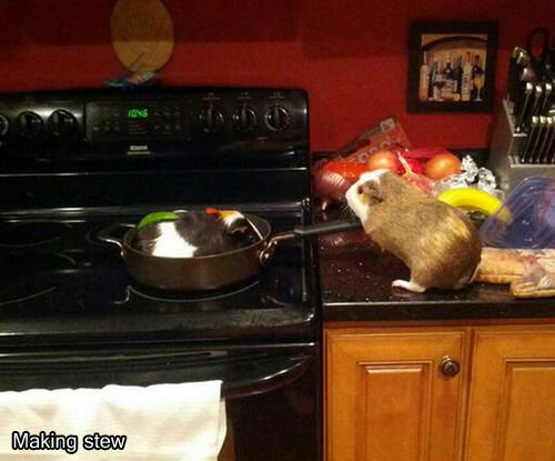 Where Is My Guinea (9 pics), funny guinea pig pictures, guinea pig on Twitter