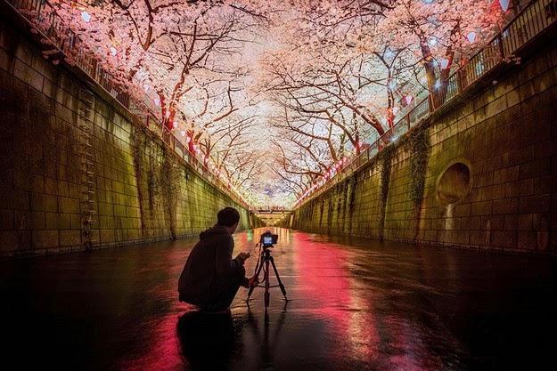 sakura blossom-2
