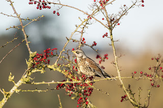 Winter Movements - Fieldfare