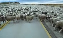 Flock of Sheep Blocks the Road
