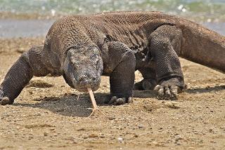 (Indonesia) – Komodo island – Walking with Dragons