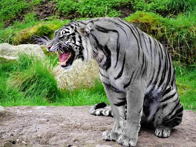 acerca de los tigres