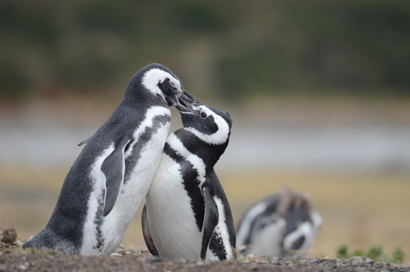 Cute magellanic penguin