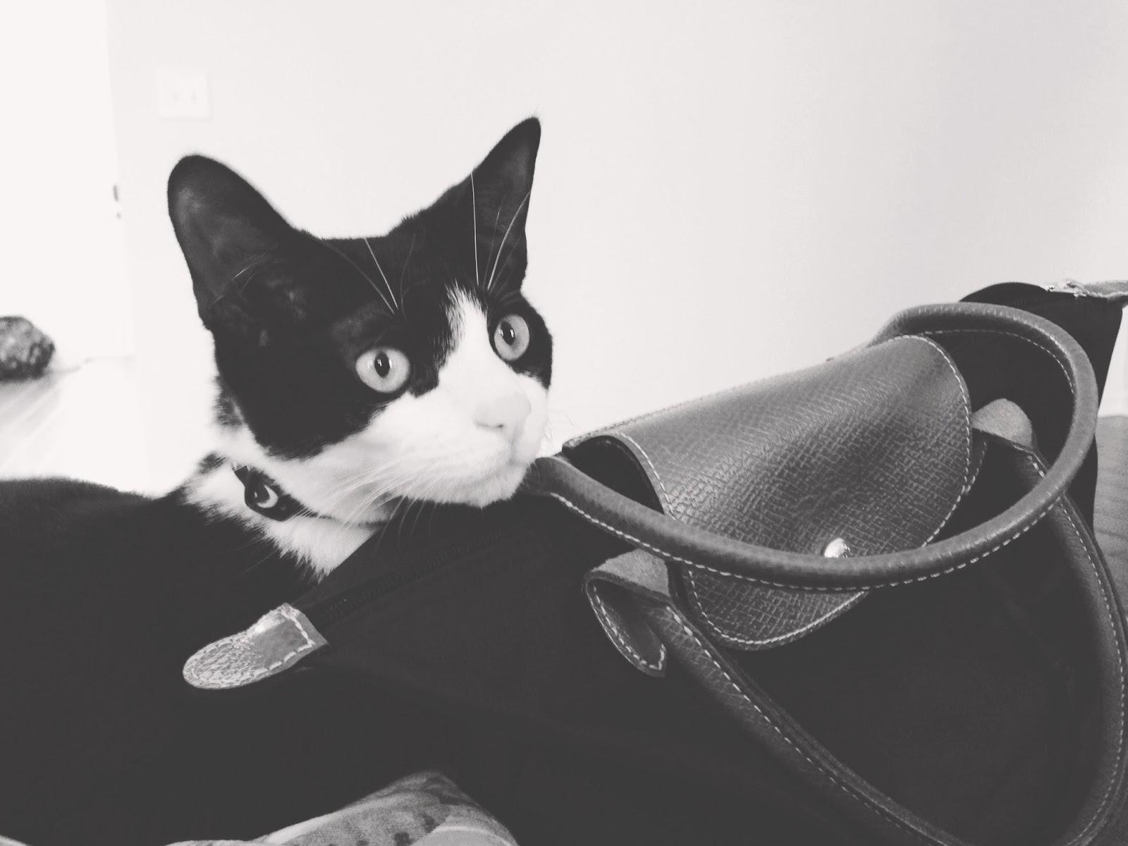 wedge (cat) posing by longchamp mini 'le pliage' handbag
