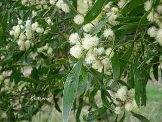 acacia in Australia