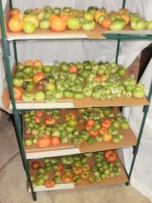 Use a Mini Greenhouse Shelf to Ripen Green Tomatoes