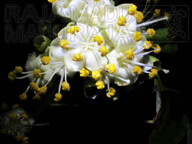 Bunga Kapuk Randu dari Jarak Dekat