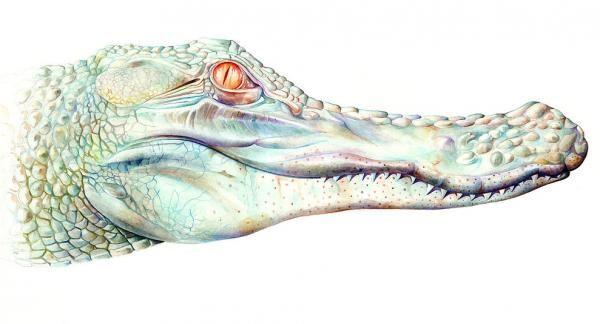 Ilustración de cocodrilo