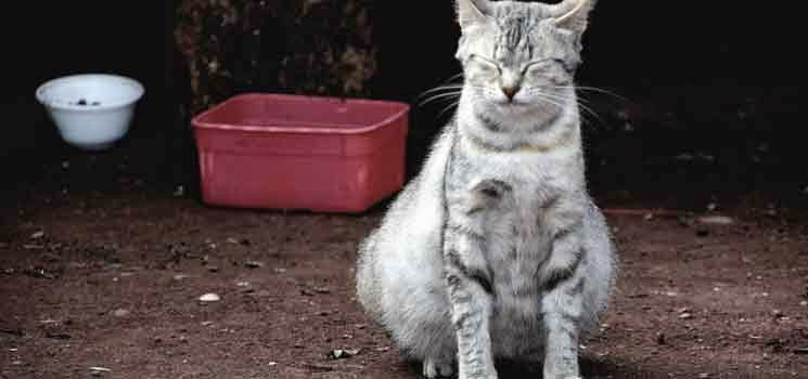 Kucing betina mengandung