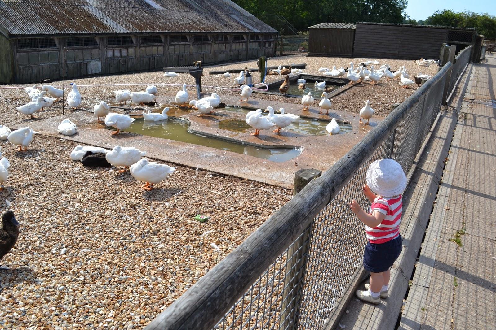 Tin Box Tot looks at ducks