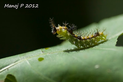 Caterpillar of Angled Castor Butterfly