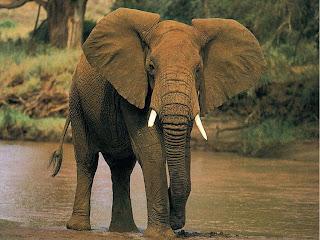 El Elefante Asiático (Elephas maximus)