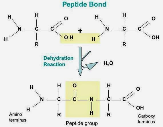 Dehydration Reaction Example #12. Proteins - amino ...