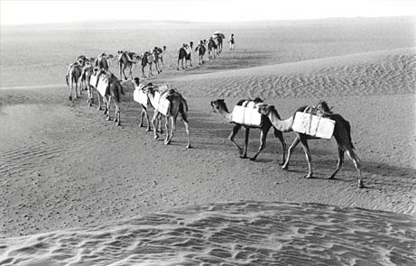 Beautiful Camel Caravan  Nomads In Oman
