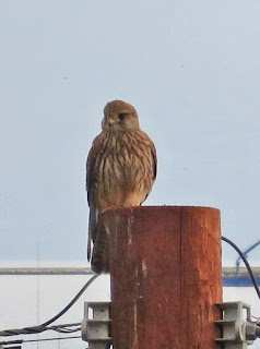 Kestrel, sitting on post, looking slightly to its right.