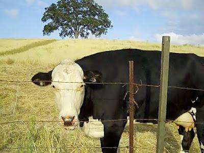 Cow in Paso Robles,  © B. Radisavljevic