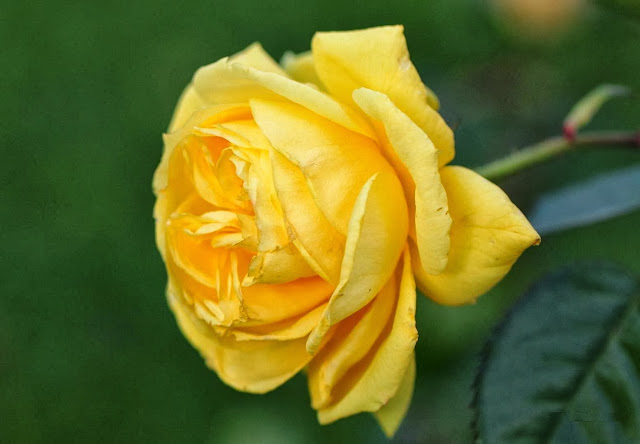 Yellow Rose Wallpapers Free Download
