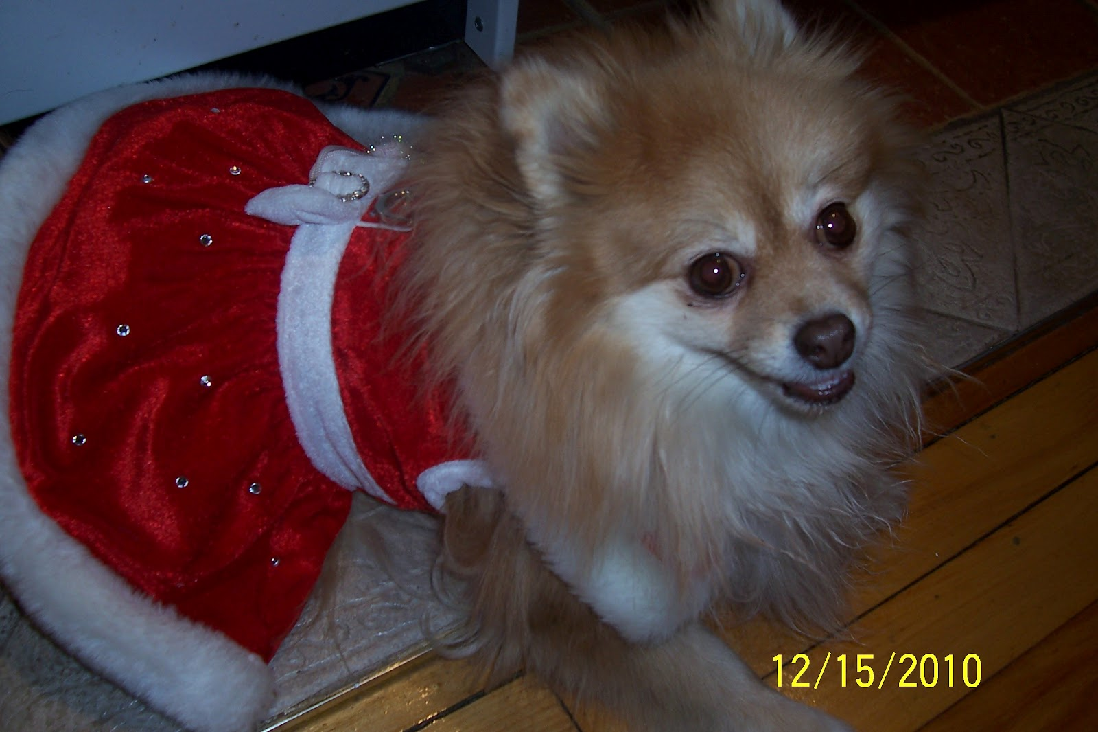 temperament of pomeranian dogs pomeranian dogs are very friendly and