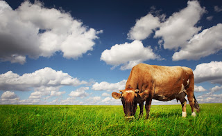 Cows that are grain fed are more likely to harbor E. coli.