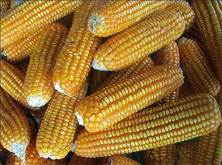 Ligao City in Albay was recognized for producing Aflatoxin-free corn.