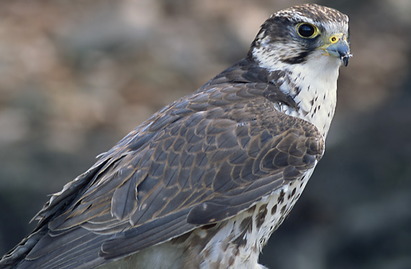 Falcon Bird Pics & Info