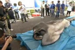 """Hiu 'Alien"""" Tertangkap di Perairan Jepang"""