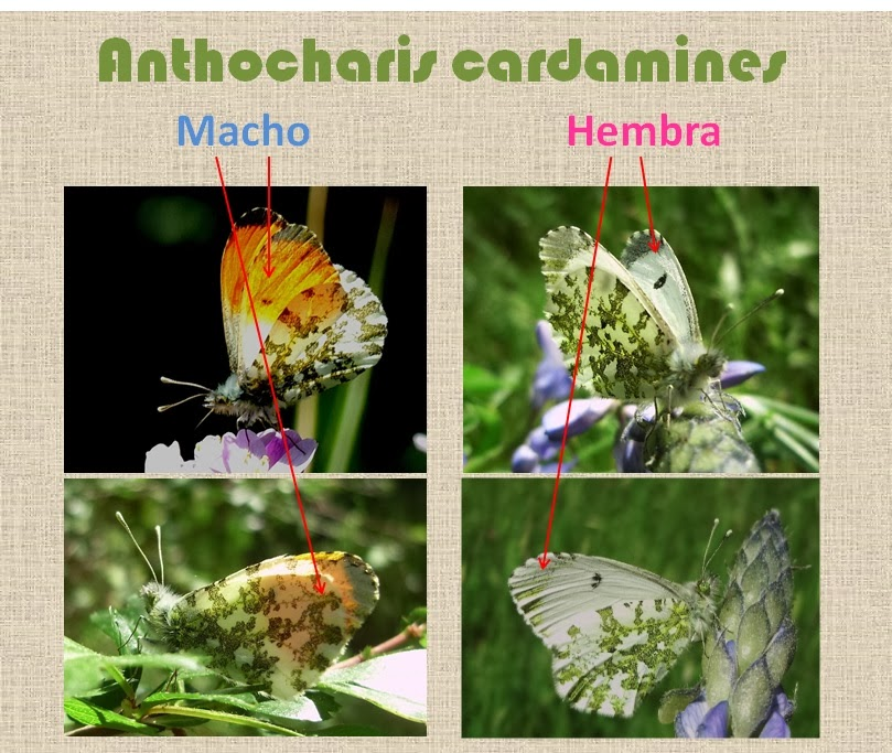 Diferencias entre machos y hembras de Anthocharis cardamines