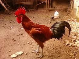 Ciri-ciri Ayam Pelung Jago yang Paling Bagus dan Bermutu Tinggi