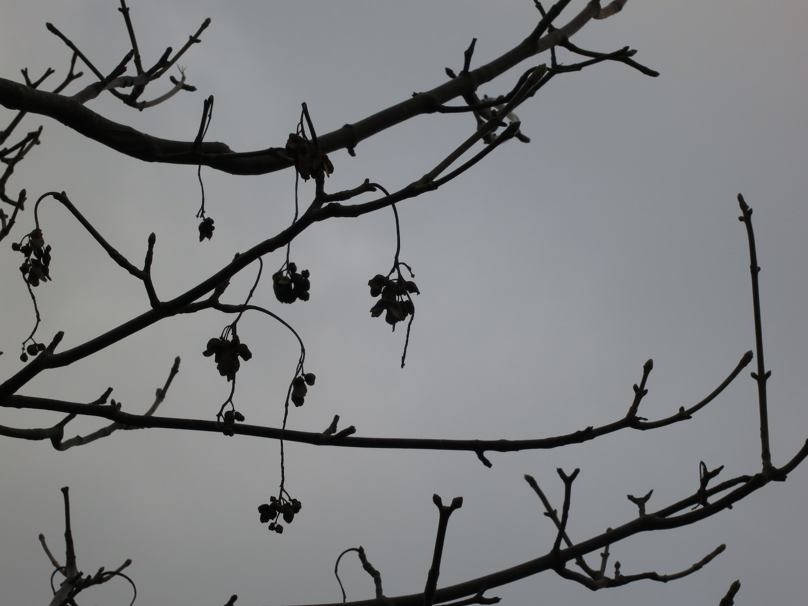 Silhouettes of the 'keys' of the tree (seeds) twigs and branches against a grey sky.