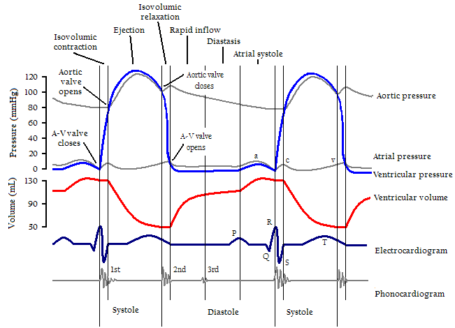 the importance of electrocardiogram in understanding cardiac physiology Tag: cardiac physiology in health professionals exposed to ecg practice about the importance of correct us understand arrhythmias that endurance.
