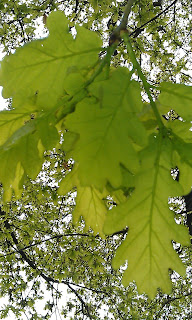 Quercus robur - Oak Tree Brockwell Park Underside of Leaves