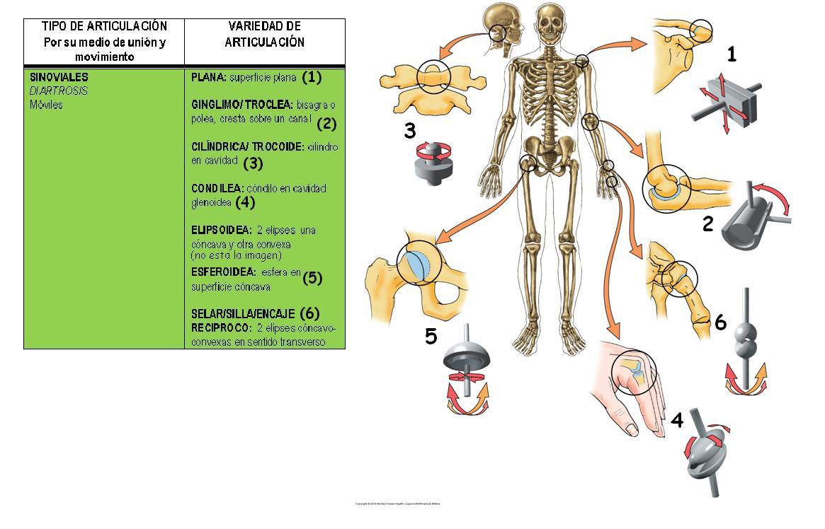 Anatomía UNAM: Articulaciones sinoviales