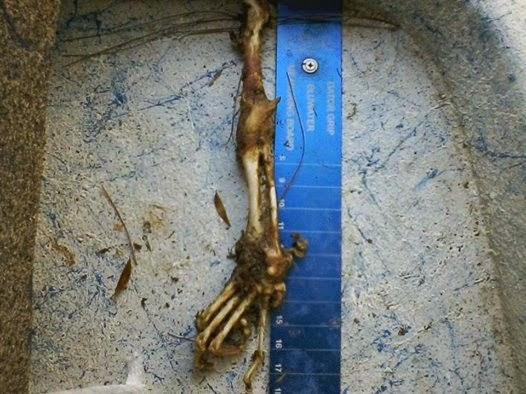 Possible Skunk Ape Arm