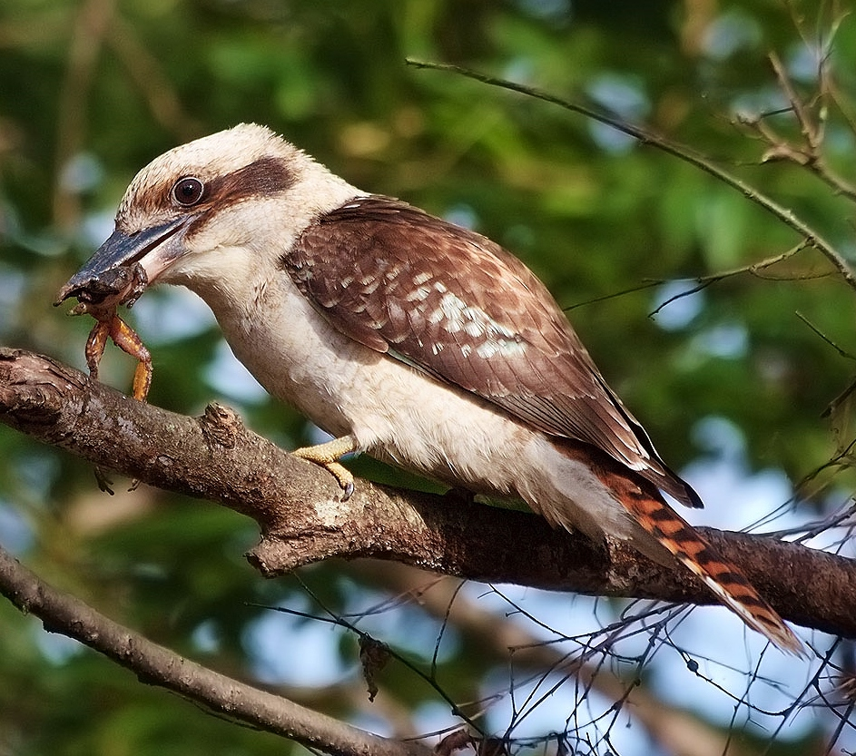 how to tell kookaburras gender