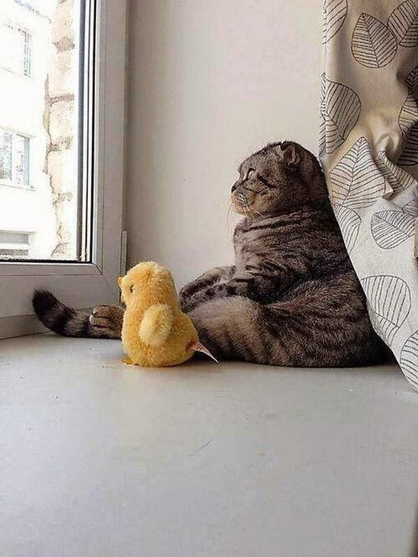 Funny cats - part 96 (40 pics + 10 gifs), cat pictures, cat sits with duck toy