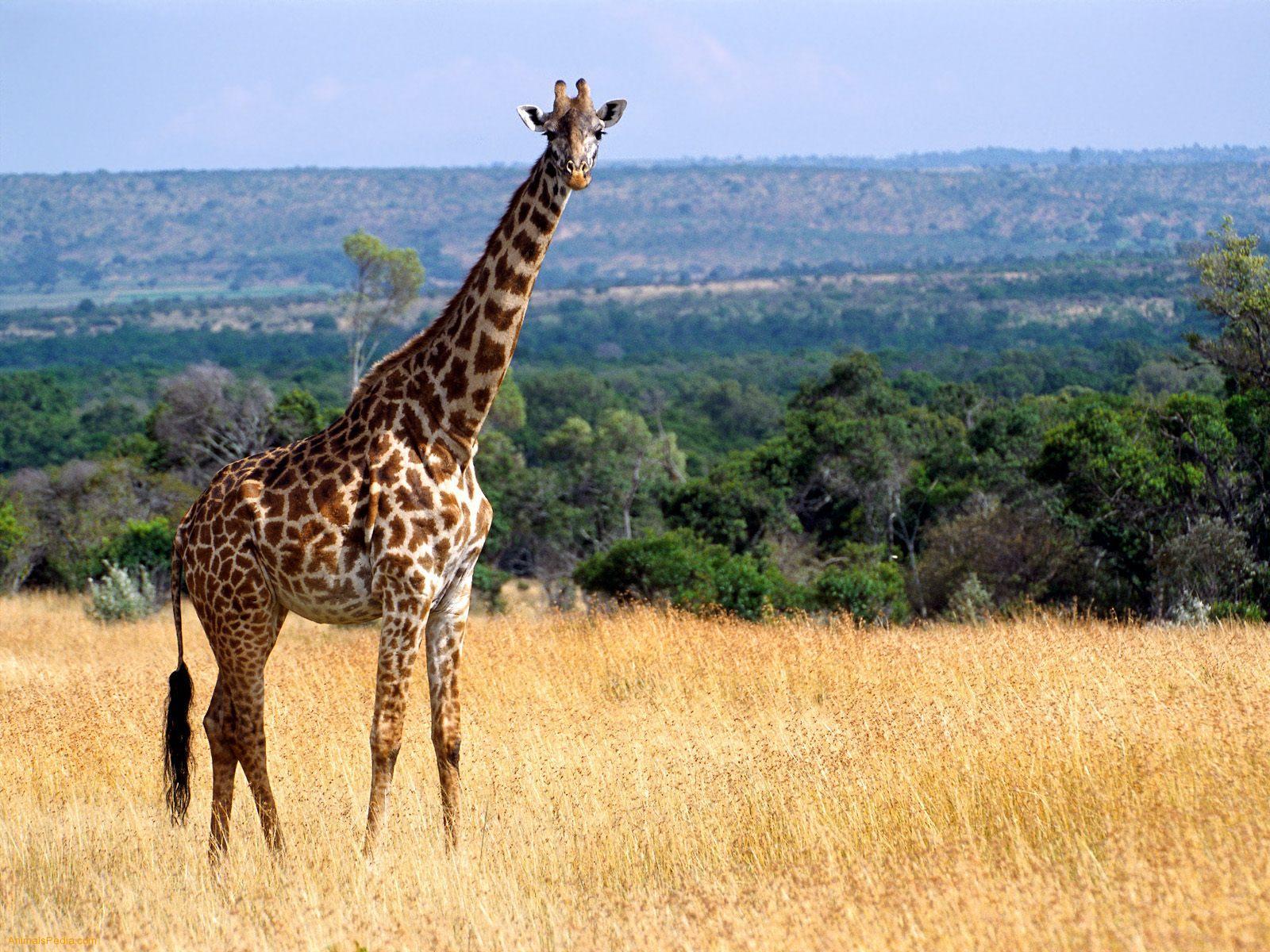 http://1.bp.blogspot.com/-IBavWw5i6Wo/T8wROeVPIJI/AAAAAAAAroQ/Z7KfRVbzQJQ/s1600/the%2Bdallest%2Bgiraffe%2Bin%2Bthe%2Bworld%2B%2Banimal%2Battacks%2Bnews%2BGiraffe-Masai-Mara-Game-Reserve-Kenya%2Banimal%2Bhunting%2Band%2Bthe%2Bbest%2Btravel%2B%2Bafrican%2Bsafari%2Bdestination%2Banimal%2Bpictures.jpg