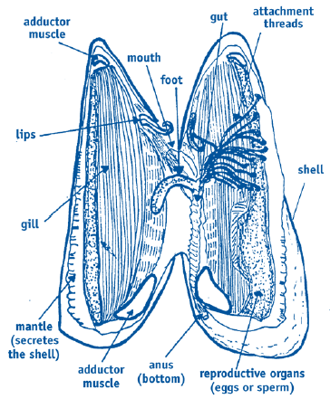 Image Gallery Mussel Anatomy