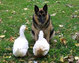 Anjing dengan Bebek
