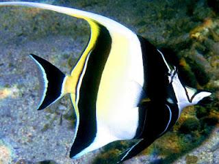 ikan hias tercantik terindah : Moorish Idol