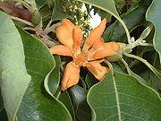 Bunga Jeumpa, flora maskot Propinsi Aceh....!!!