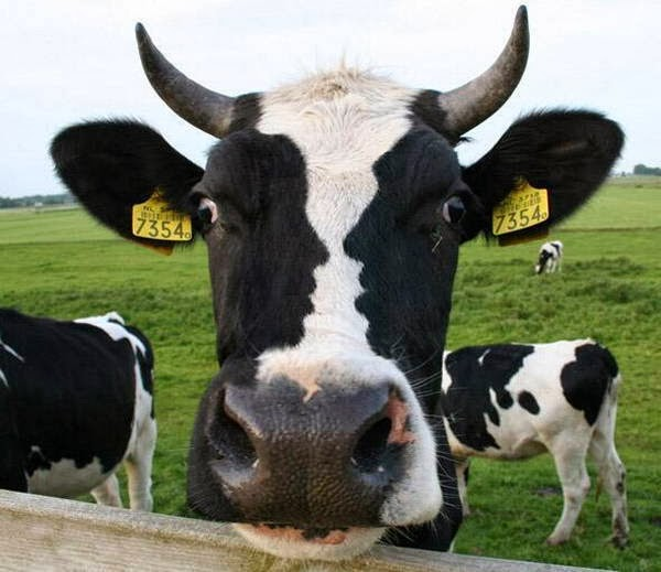 Funny animals of the week - 21 February 2014 (40 pics), a cow with human ready to kiss pattern of its face