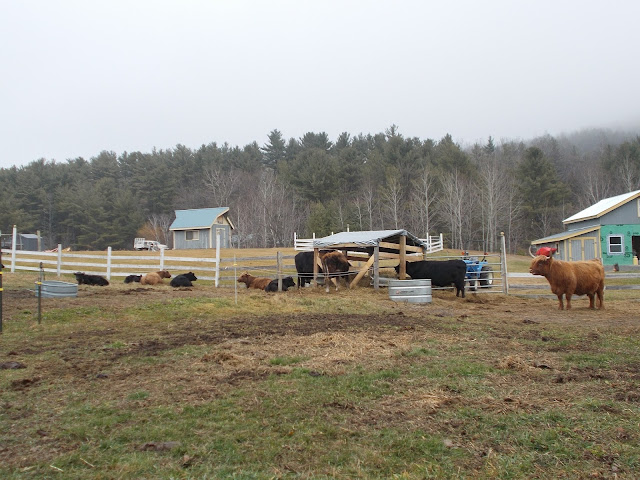 Ferme animaux vaches campagne DaCy Meadow Farm