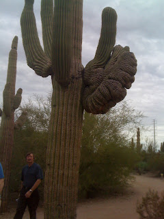 This Carnegiea gigantea has arms and crested growth ... Saguaros usually only have arms