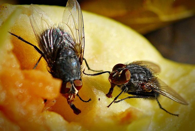 Мясные или серые мухи (Sarcophagidae)