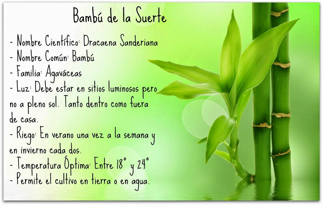 Cuidados Del Bamb De La Suerte Jardiner A Helloforos Com Tu  ~ Cañas De Bambu Verdes Para Decorar