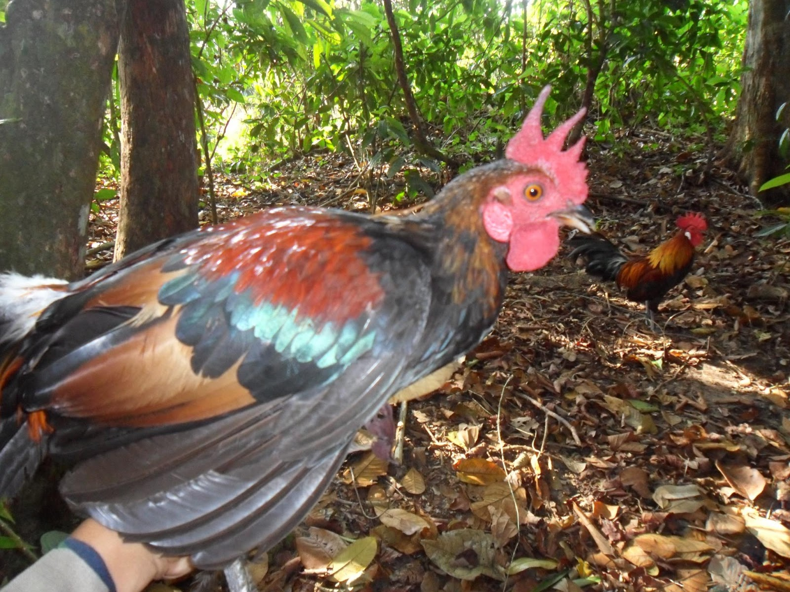 gambar ayam hutan asli
