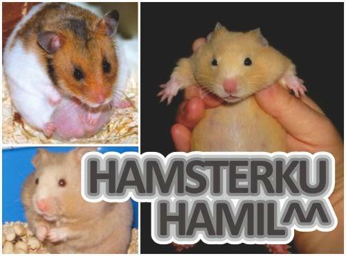 ciri-tanda-hamster-hamil_653258