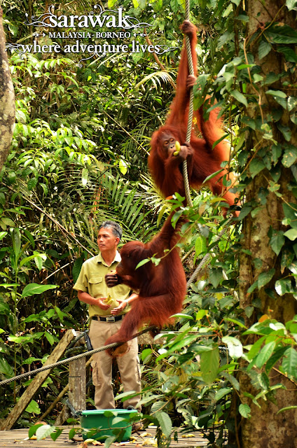 Two young orang utans hanging from ropes while feeding