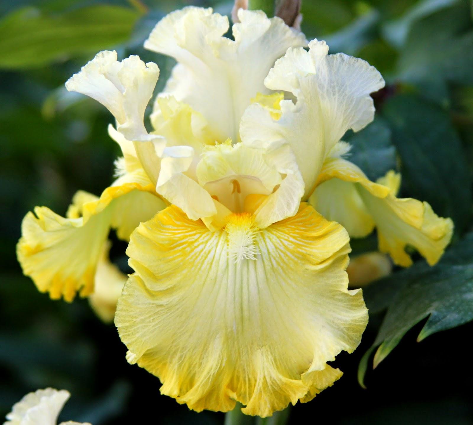 World Of Irises Quot Talking Irises Quot Tall Bearded Irises
