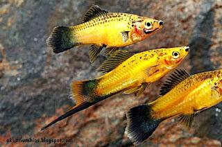 Ikan Hias Swordtail